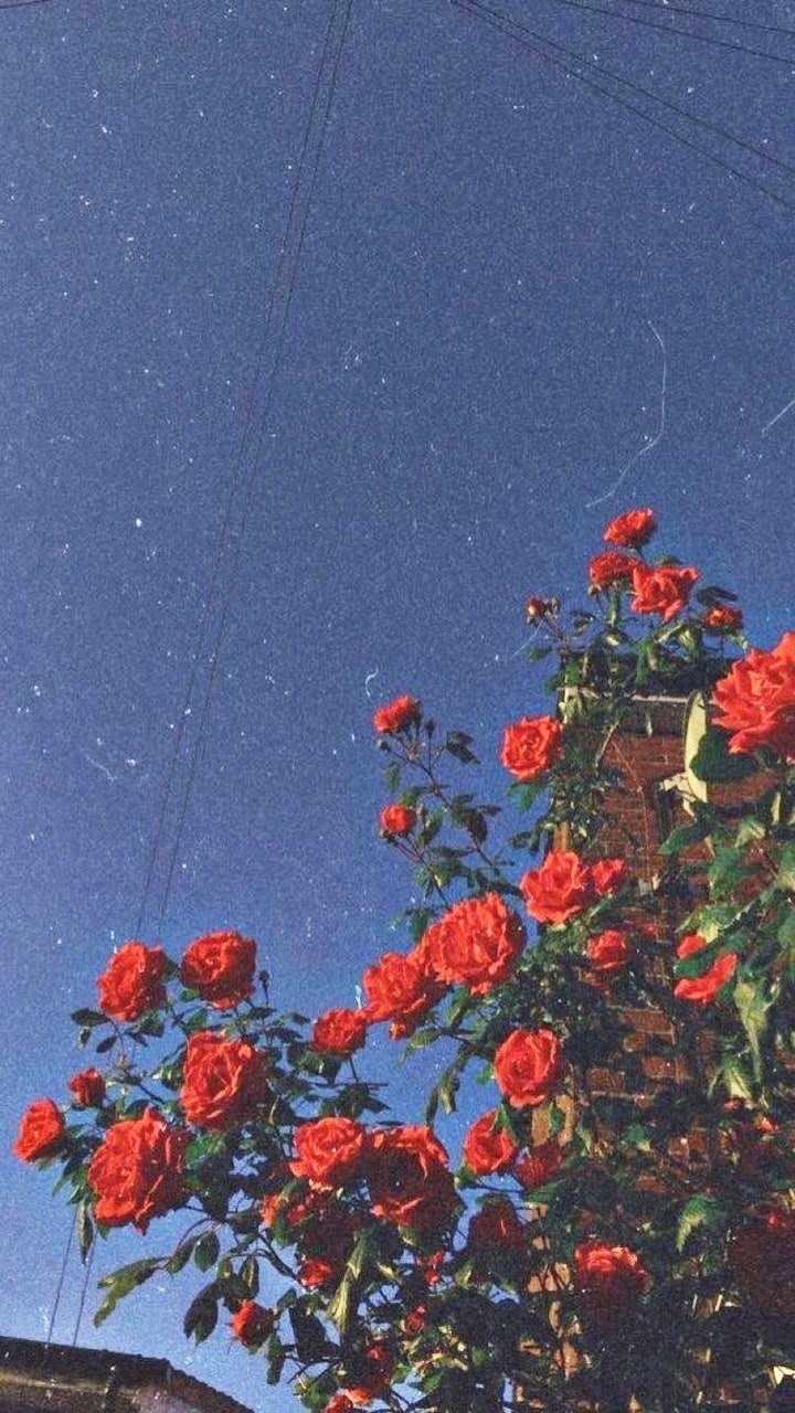 Wallpaper Rose Vintage Retro Aesthetic