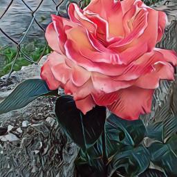 freetoedit coral myphoto rose