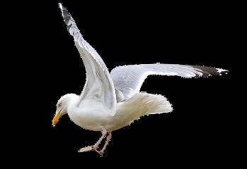 freetoedit ave bird gaviota p