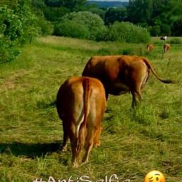 freetoedit antiselfie myphoto cows nature