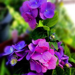 freetoedit flower frommygarden photography flowershoutout