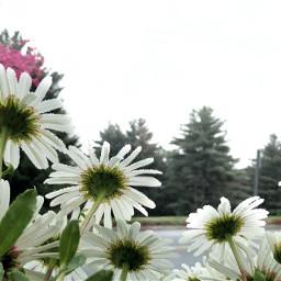freetoedit daisies raindrops rain floral
