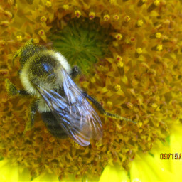 freetoedit macro honeybee pollen flower