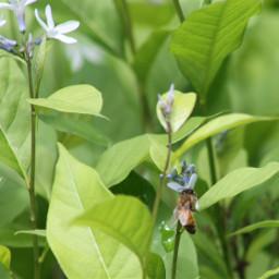 freetoedit honeybee bee pollinator flower