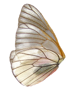 moth butterfly wing pretty png freetoedit