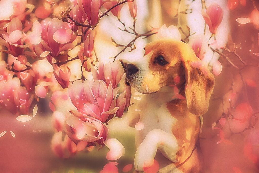 #freetoedit  #dog #beagle #flower #petals