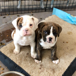 pcfunwithmydog funwithmydog oldenglishbulldog boxer puppies freetoedit