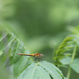 freetoedit dragonfly nature plant insects