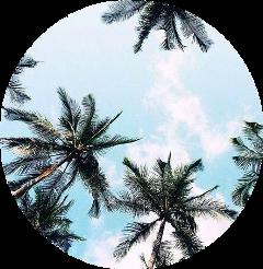 scpalmtrees palmtrees palmtree aesthetic la freetoedit