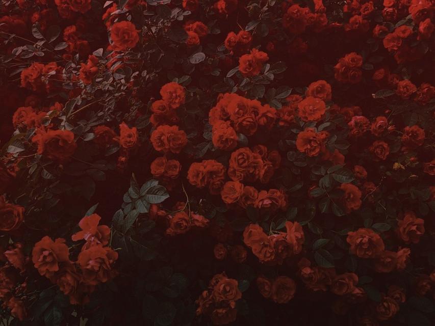 #freetoedit #red #rose #dark