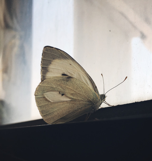What is it thinking of?! #butterfly #meditating #closeup #insects #nature #summer #window #lookingoutthewindow #myphotography #beautifull #iphoneonly #photography #myphoto #freetoedit