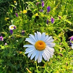 dew daisy daisydew freetoedit