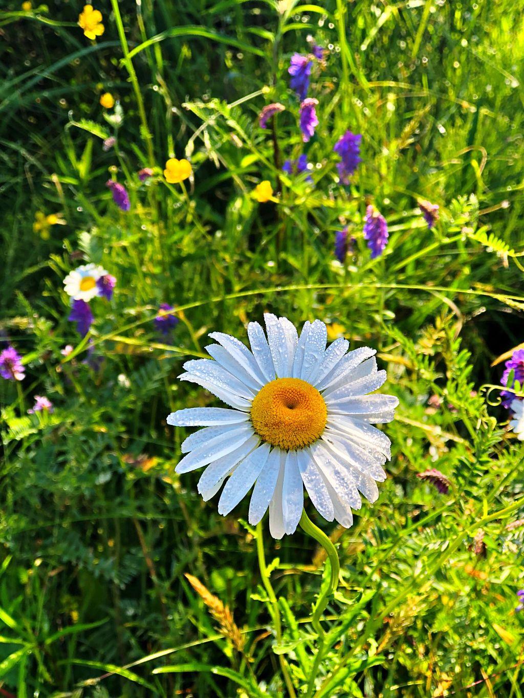 #dew #daisy #daisydew #freetoedit