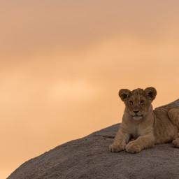 lion wildlife animal nature cute freetoedit