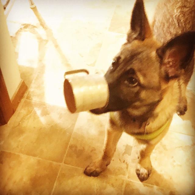 #freetoedit #malinois #puppy #hungry #belgianmalinois