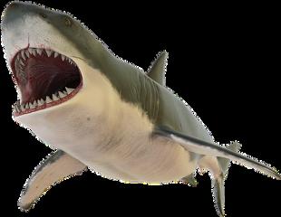 freetoedit tibur pez fish animals scsharksticker
