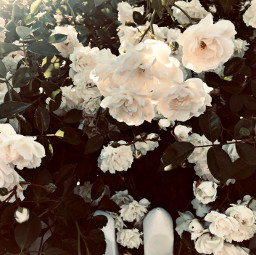 freetoedit florals floralcanvas roses backgrounds
