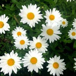 freetoedit daisies nature florals floralpattern