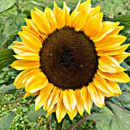 freetoedit remixit remixedwithpicsart sunflower sunflowerremix