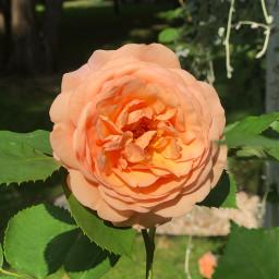 pccolorfulsummer colorfulsummer summer rose orange