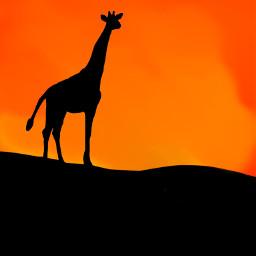 dcjungles jungles freetoedit jungle giraffe