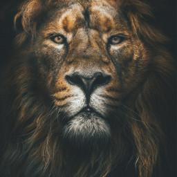 lion animals freetoedit