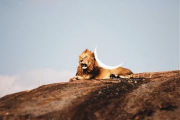#catcuratedlion,#lion