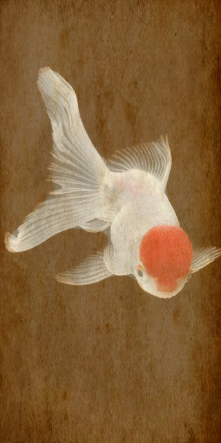 #freetoedit #Goldfish