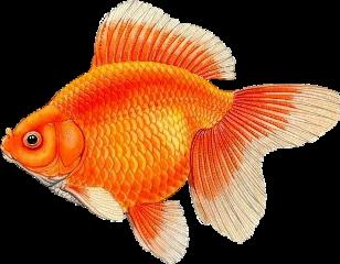 goldfish fangoldfish fish freetoedit