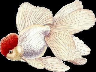 white whitefish fangoldfish freetoedit