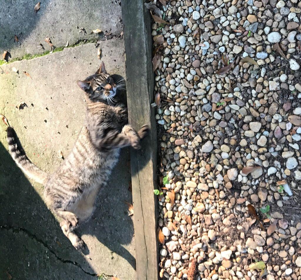 #stone #stones #cat #feline #freetoedit #tomcat #tomtom #pcmadeofstone #madeofstone