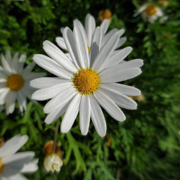 myphoto flower dasies blureffects whiteandyellow freetoedit