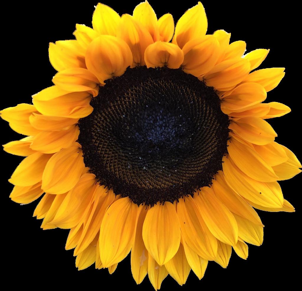 #sunflower #sunflowersticker #sticker #freetoedit