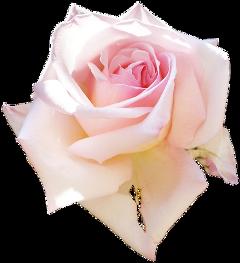 cuorelucymy lucymy mialu rosa freetoedit