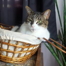 caturday lazy basketcase basketlife pinky