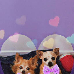 dog doggo chihuahua love bow freetoedit
