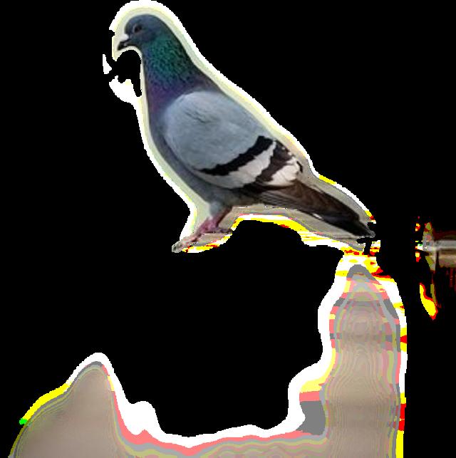 #голуб