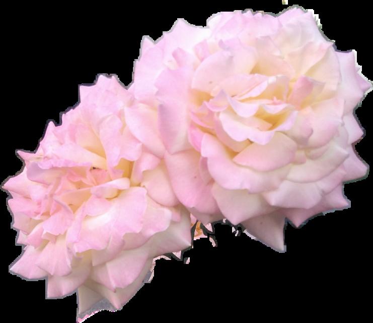 #fotoedit #love #pink #aestethic #aestetics #flowerpower #flowers #flover #rose #roses #pinkrose #summer