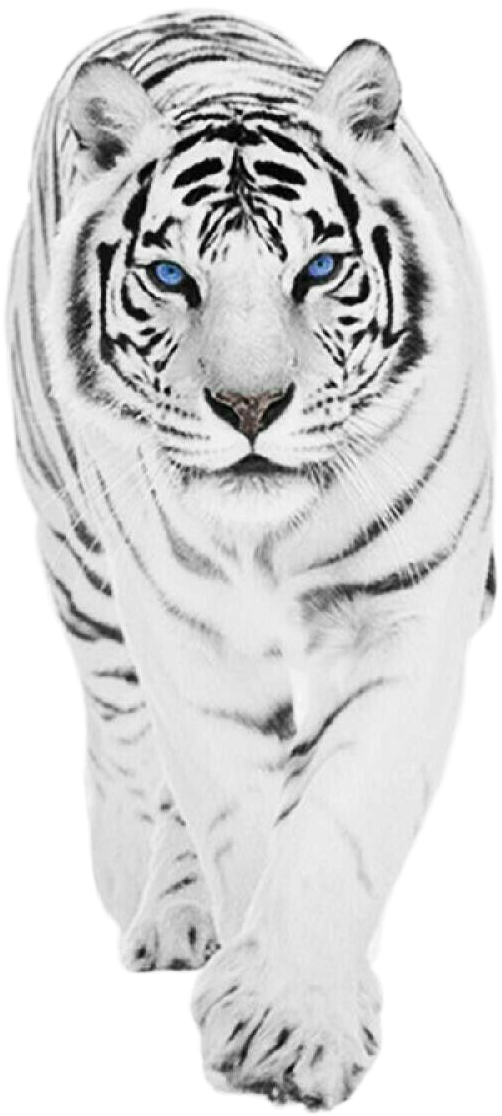 #tiger  #White #tigre #blanco