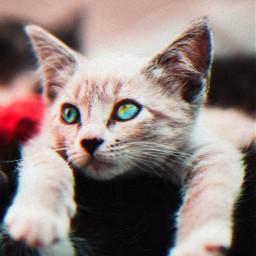 freetoedit kitten. kitten