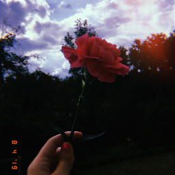 freetoedit flower carnation pink huji