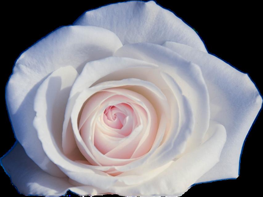 #cuorelucymy #Lucymy #mialu #rosalucymy #rosa #rose #wow