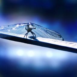pcshadesofblue shadesofblue freetoedit dragonfly myoriginalphoto