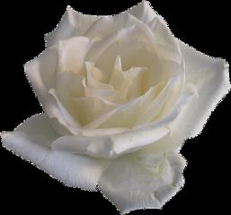 cuorelucymy mialu lucymy flowers white freetoedit
