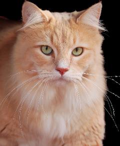 cat freetoedit kittylove