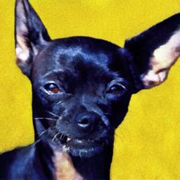 dog chihuahua pet summer yellow freetoedit