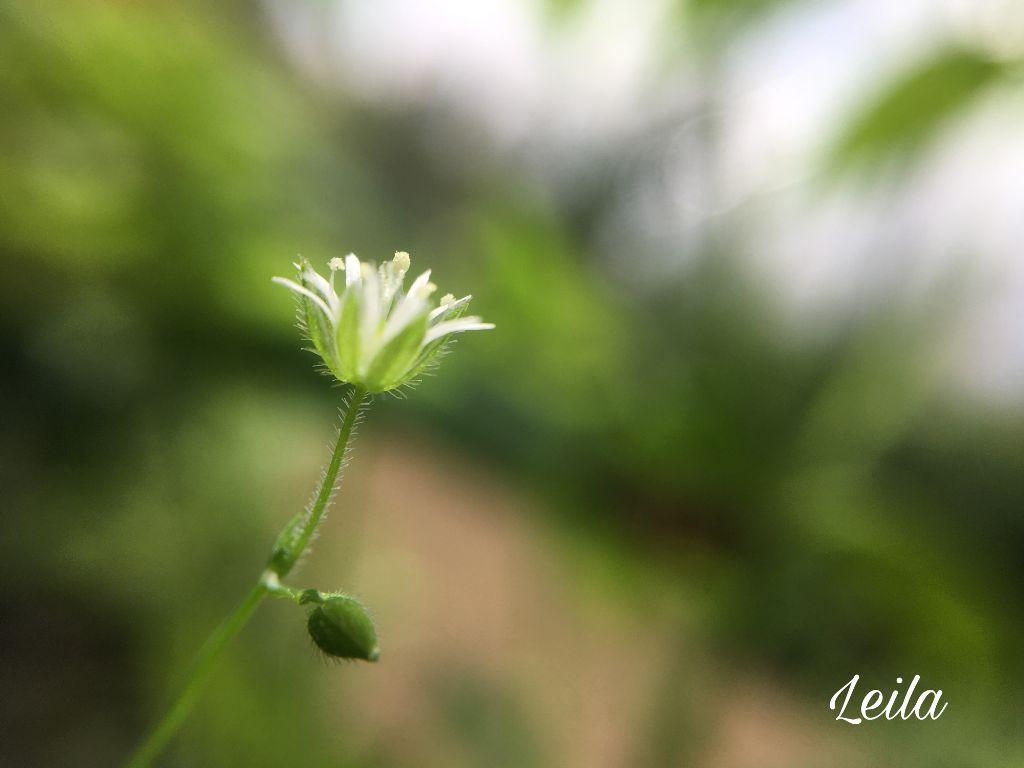 #freetoedit #nature #greenandwhite #wildflower #photography #flower #PuertoRico #background  #wallpaper