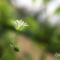 freetoedit nature greenandwhite wildflower photography pcminimalism