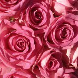 freetoedit roses pink flowers gorgeous