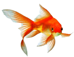 goldfish aquatic freetoedit